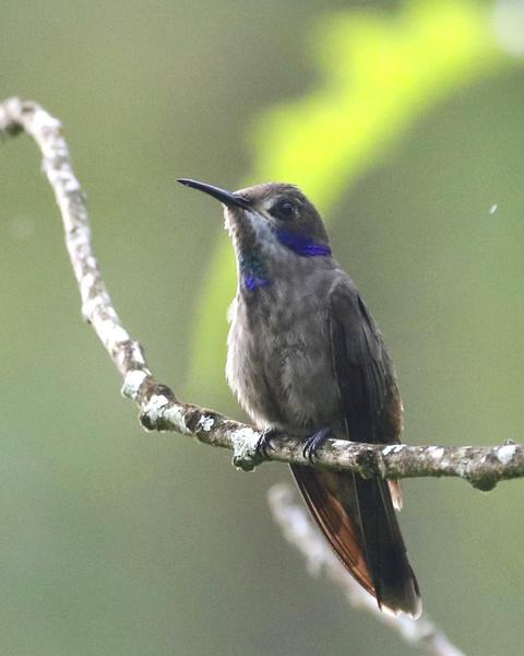 hummingbird sp.