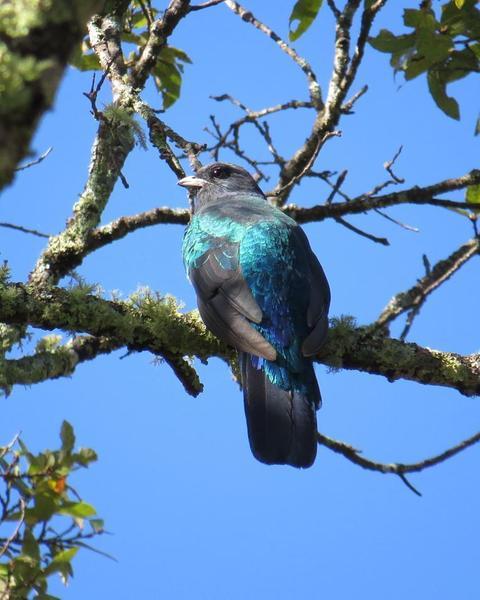 Eared Quetzal
