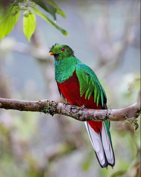 Crested Quetzal