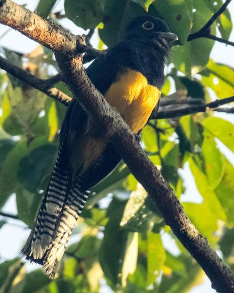 Amazonian Trogon