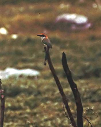 Russet-crowned Motmot