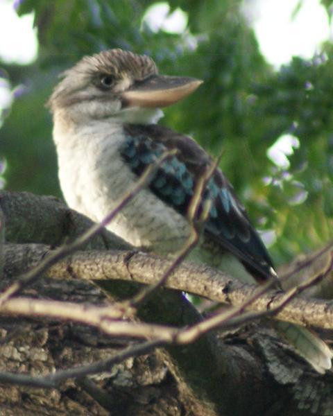 Blue-winged Kookaburra