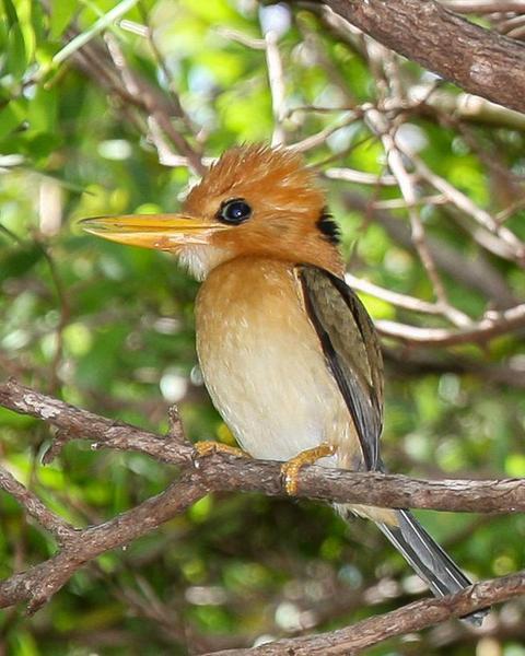 Yellow-billed Kingfisher
