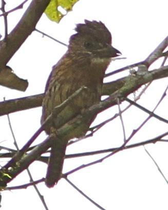 Eastern Striolated-Puffbird