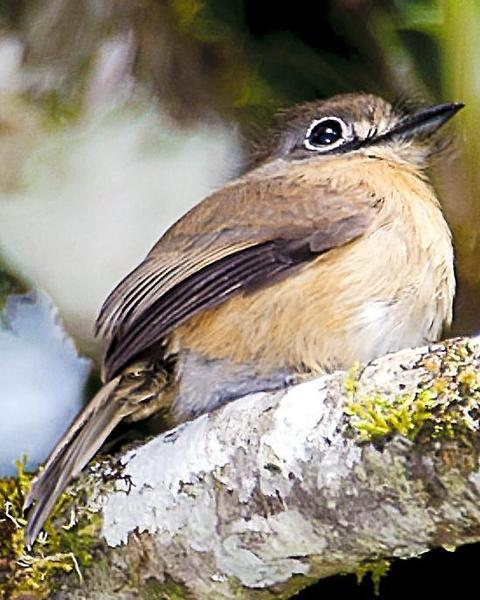 Rusty-breasted Nunlet