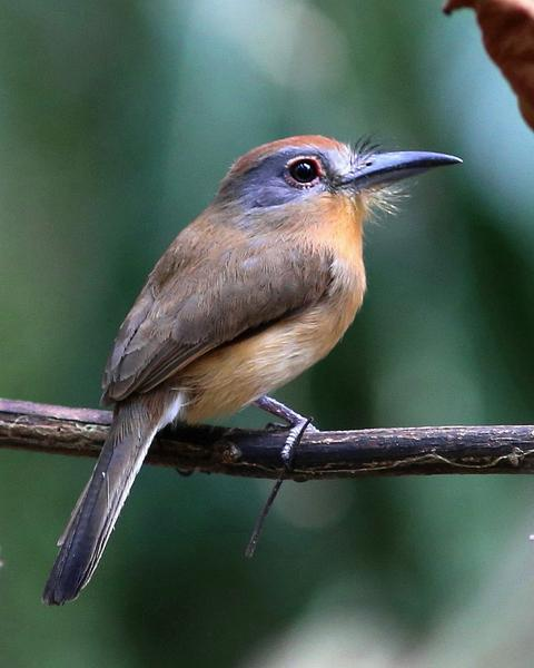 Gray-cheeked Nunlet