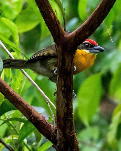 Scarlet-crowned Barbet
