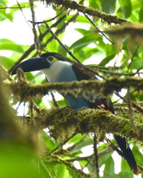 Black-billed Mountain-Toucan