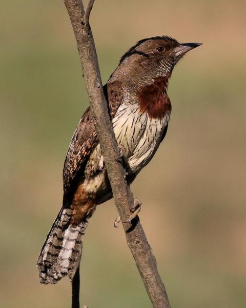 Rufous-necked Wryneck