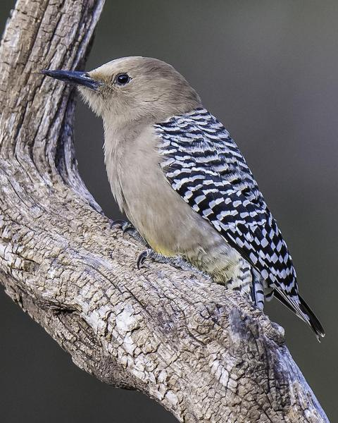 Gila Woodpecker