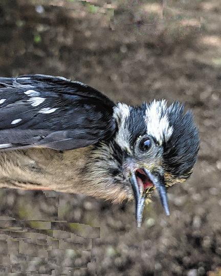 Downy Woodpecker (Pacific)