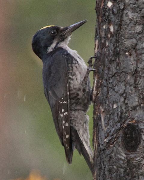 Black-backed Woodpecker