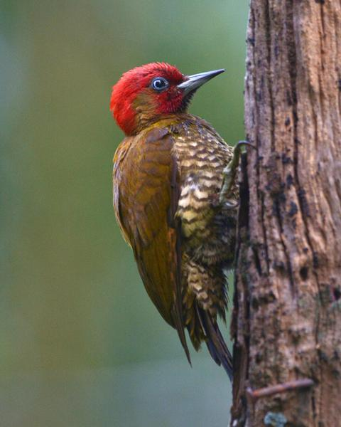 Rufous-winged Woodpecker