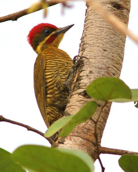 Golden-green Woodpecker