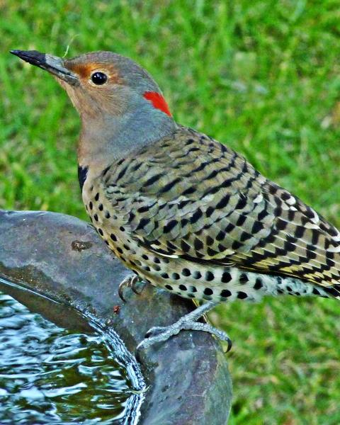 Northern Flicker (Yellow-shafted)