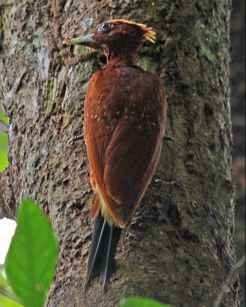 Chestnut Woodpecker