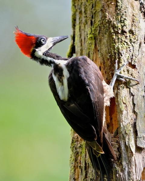 Crimson-crested Woodpecker