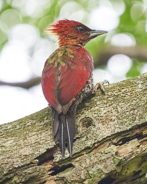 Banded Woodpecker