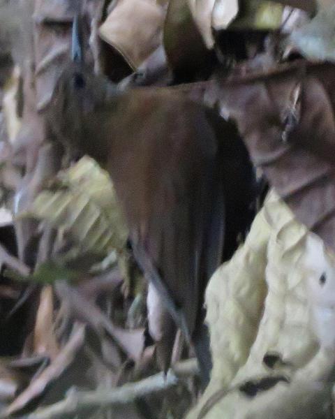 Gray-throated Leaftosser