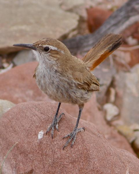 Band-tailed Earthcreeper