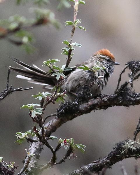 White-browed Tit-Spinetail