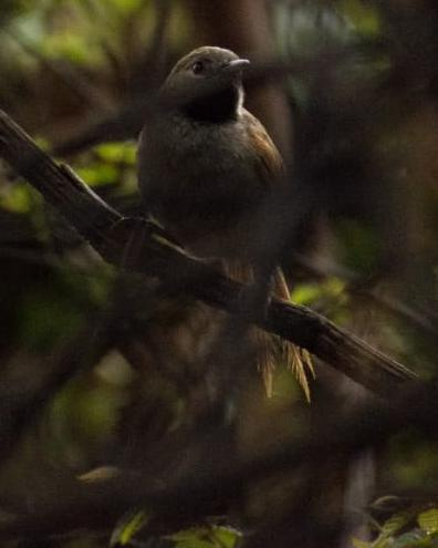 White-bellied Spinetail