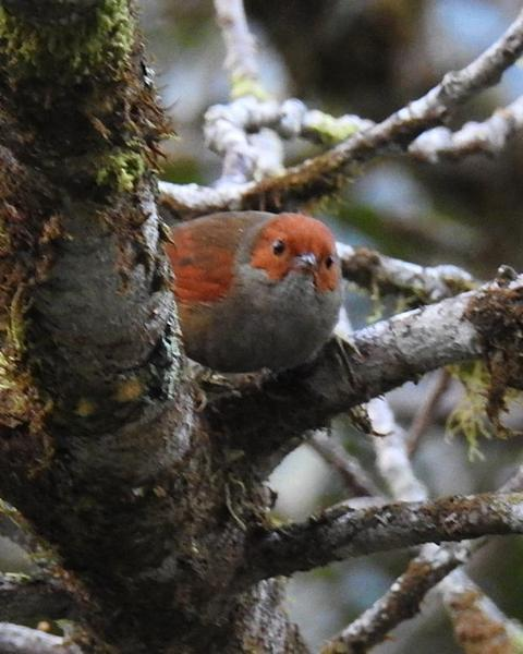 Red-faced Spinetail