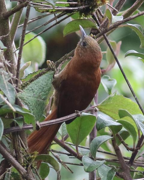 Russet-mantled Softtail