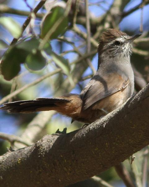 Dusky-tailed Canastero