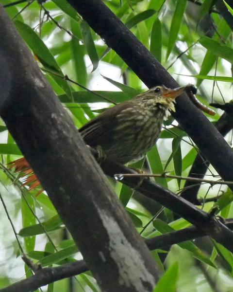 Buff-browed Foliage-gleaner