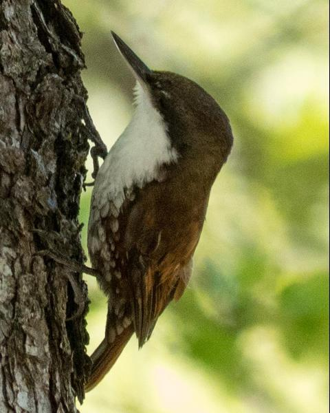 White-throated Treerunner