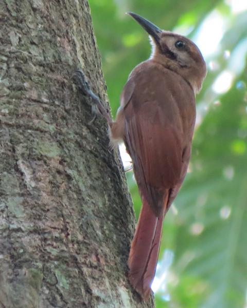 Plain-brown Woodcreeper