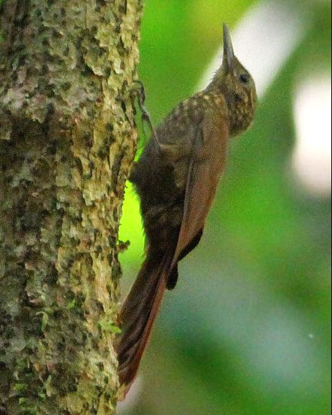 Long-tailed Woodcreeper
