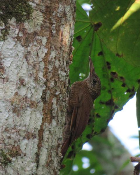 Amazonian Barred-Woodcreeper
