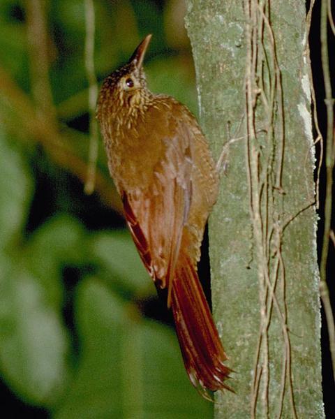 Black-banded Woodcreeper