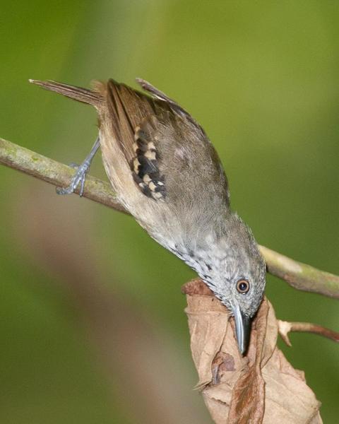Checker-throated Antwren