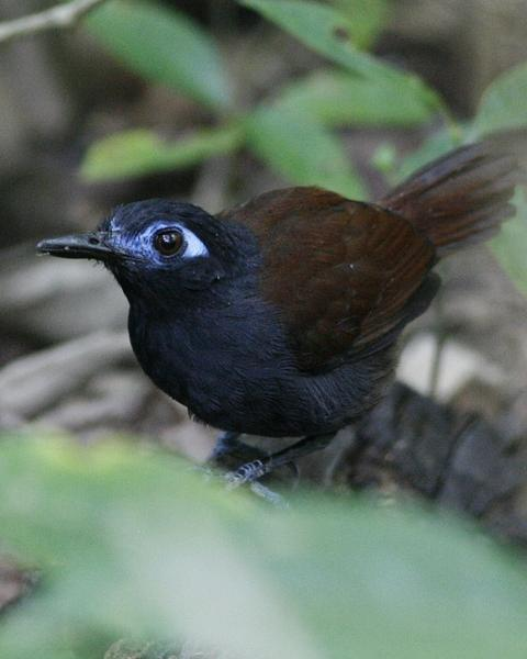 Chestnut-backed Antbird