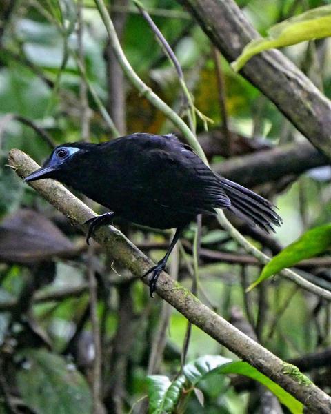 Blue-lored Antbird