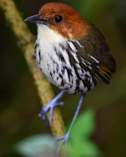 Chestnut-crowned Antpitta