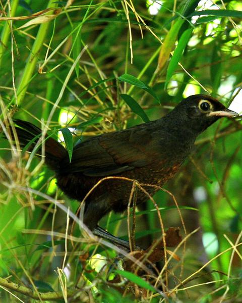 Black-throated Huet-huet