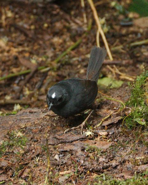 White-crowned Tapaculo