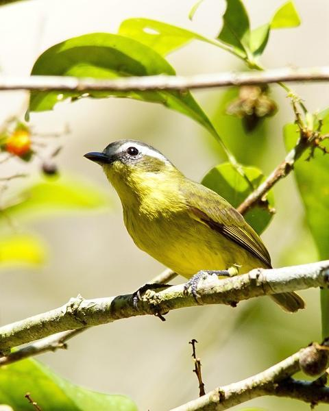 Yellow-bellied Tyrannulet