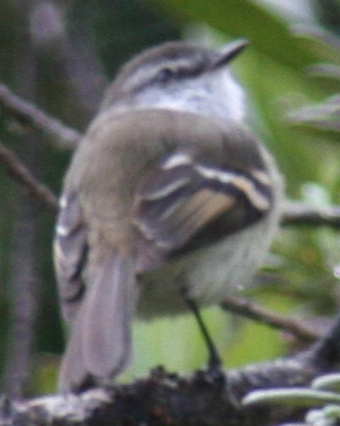 White-throated Tyrannulet