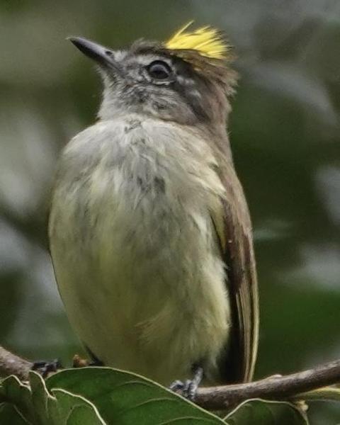 Greenish Elaenia