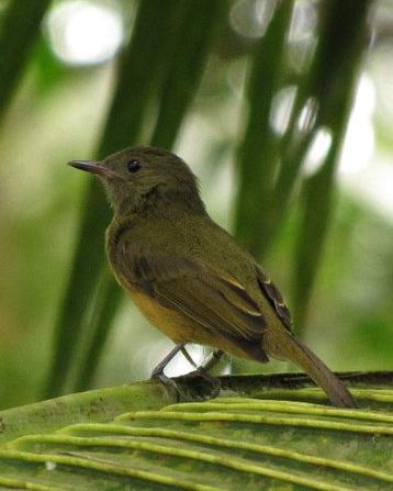 Ochre-bellied Flycatcher