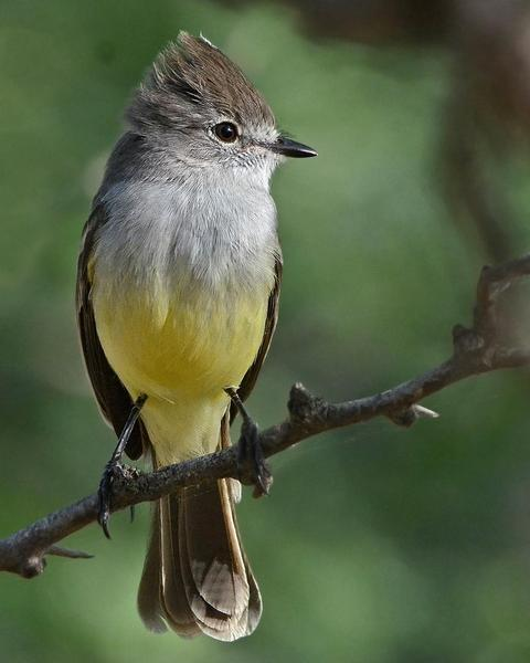 Northern Scrub-Flycatcher