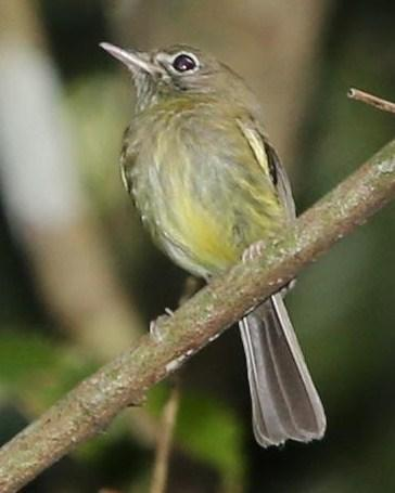 Eye-ringed Tody-Tyrant