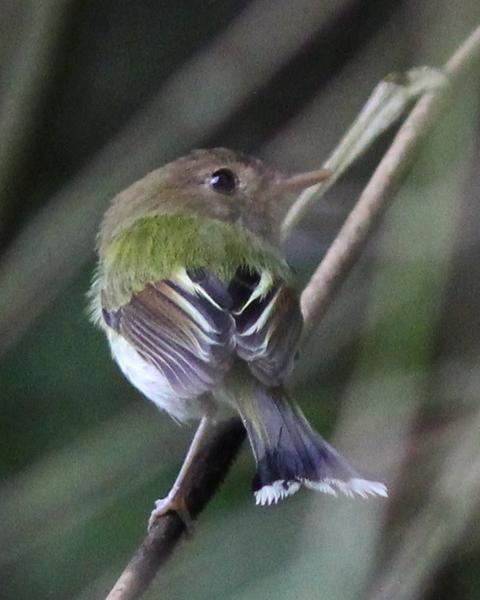 Fork-tailed Pygmy-Tyrant