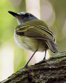 Slate-headed Tody-Flycatcher