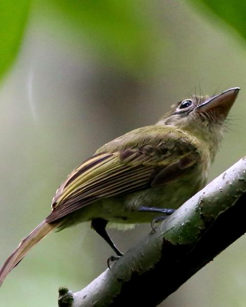 Olivaceous Flatbill